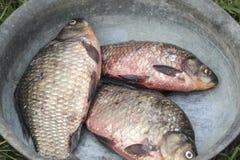 Fresh river fish carp in iron pelvis. Three beg carps Royalty Free Stock Photography
