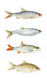 Fresh river fish collection isolated Stock Photography