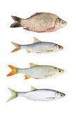 Fresh river fish collection isolated Royalty Free Stock Image
