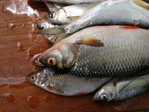 Fresh river fish. On a wooden board for the kitchen royalty free stock photo