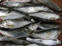 Fresh river fish. On a wooden board for the kitchen stock image