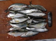 Fresh river fish. On a wooden board for the kitchen royalty free stock image