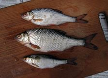 Fresh river fish. On a wooden board for the kitchen stock photos