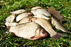 Fresh river fish on grass Stock Images