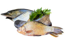 Fresh river fish. Fish  river  isolated  meal  many  catfish   hobbies green  white  tail Royalty Free Stock Photo