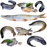 Fresh river fish. Fish  river  isolated  meal  many  catfish  hobbies  green  white  tail Royalty Free Stock Photography