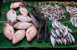 Fresh river fish in Local Thailand morning market a traditional. Fresh river fishes in Local Thailand morning market a traditional fish shop, front view Stock Images