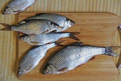 Fresh river fish roach on a cutting wooden board. Russia royalty free stock photo