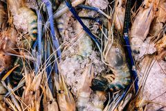 Fresh river prawns on cold ice in fresh seafood market top view. Close up Fresh raw Thai river prawns on cold ice in fresh seafood market top view stock image