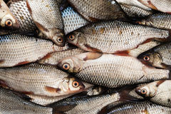Fresh roach fish texture Royalty Free Stock Photos
