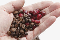 Fresh and roasted coffee beans in hand Royalty Free Stock Photos