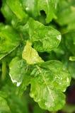 Fresh Rocket leaves. Dew on fresh rocket or Arugula leaves Stock Images