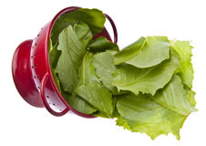 Fresh Romaine Lettuce Stock Photo