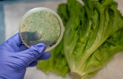 Fresh Romaine lettuce with E coli culture plate. Fresh romaine lettuce with white background and E coli culture plate holding in hand at the foreground stock photos