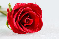 Fresh rose Royalty Free Stock Photos