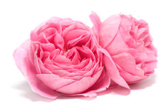 Fresh rose Stock Images