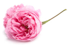 Fresh rose Stock Photography