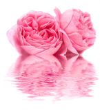 Fresh rose Royalty Free Stock Photo