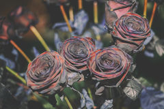 Fresh Rose black baccara in vintage style Stock Photo