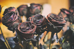 Fresh Rose black baccara in vintage style Stock Images