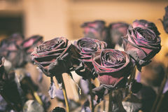 Fresh Rose black baccara in vintage style Royalty Free Stock Photo