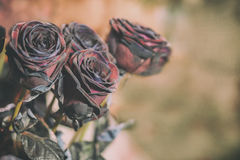 Fresh Rose black baccara in vintage style Royalty Free Stock Images