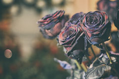 Fresh Rose black baccara in vintage style Royalty Free Stock Photography