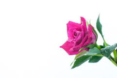 Fresh rose with dews for background Stock Image