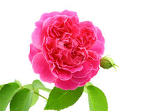 Fresh rose from garden isolated on white background Stock Photos