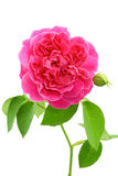 Fresh rose from garden isolated on white background Royalty Free Stock Photo