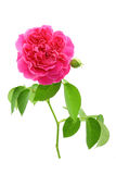 Fresh rose from garden isolated on white background Royalty Free Stock Photography