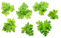 Fresh rose geranium leaves isolated on white. Green geranium leaves on the white background stock photo