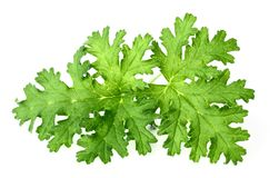 Fresh rose geranium leaves isolated on white. Green geranium leaves on the white background royalty free stock photos