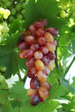 Fresh rose and green grapes Royalty Free Stock Image