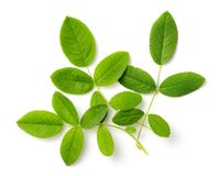 Fresh rose leaves isolated on white, top view royalty free stock image