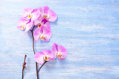 Fresh rose orchid flowers and a little bunch with bud on the blue vintage wooden background Stock Photography