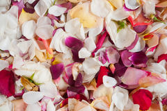 Fresh Rose Petals Stock Image