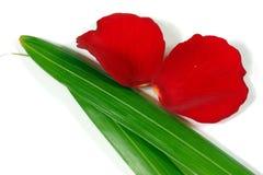 Fresh Rose Petals Royalty Free Stock Image