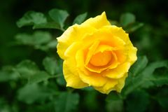 Fresh rose plant with yellow flower in green garden. Fresh rose plant with one bright yellow flower in green garden background Royalty Free Stock Images