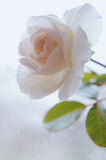 Fresh rose in soft light Stock Photography