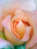 Fresh rose, tenderness Royalty Free Stock Photos