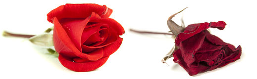 Fresh rose and then faded. Fresh rose and then, the same rose, faded isolated over white background Stock Images