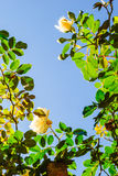 Fresh rose vines against blue sky(vertical) Stock Photography