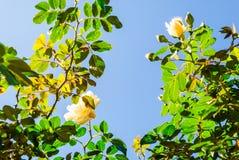 Fresh rose vines against blue sky Stock Images