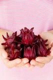 Fresh roselle flower Stock Images