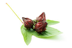 Fresh roselle fruit Stock Image