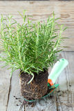 Fresh rosemary Royalty Free Stock Photo