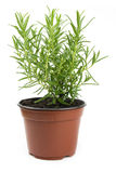 Fresh rosemary. In a pot isolated on white background Stock Photo