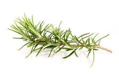 Fresh Rosemary Stock Photo