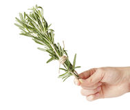 Fresh rosemary bunch in hand Royalty Free Stock Photos